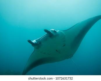 Giant Manta Fish