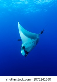 Giant Manta Ray (Manta birostris) in the open sea