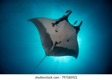 Giant Manta ray flying over the sun