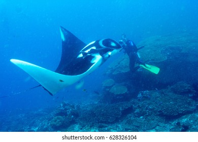 Giant Manta Ray nature wildlife in ocean Under water scuba