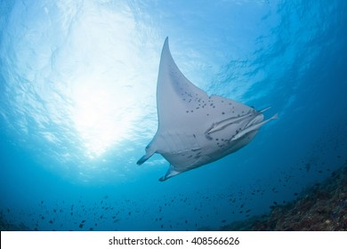 Giant manta ray with a shark bite in its fin approaching a cleaning station in clear blue water.