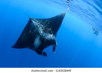 967c745605cd7 Giant Manta Ray Swimming and Feeding on Ocean Surface of Isla Mujeres