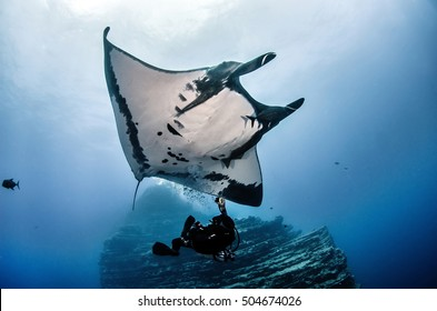 Giant Manta Ray swimming with scuba diver