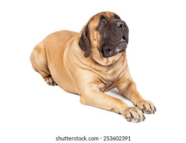 Giant Mastiff breed dog laying down and looking up and to the side