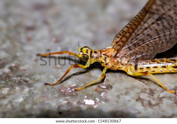 giant mayfly in close up