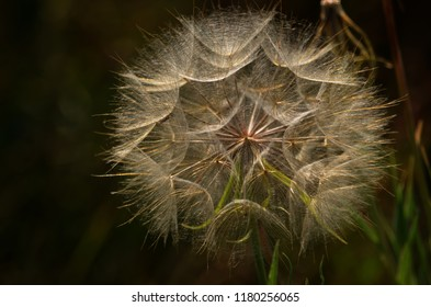 Giant Meadow Salsify, also called Jack-go-to-bed-at-noon.