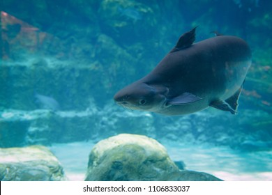 The Giant Mekong catfish in an aquarium. Animal for education concept.
