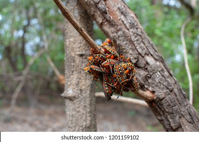 Giant Mesquite Bug nymphs (Thasus acutangulus) in Palo Verde National Park, Costa Rica