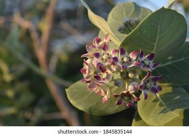 Giant milkweed flowering and budding in Aruba.