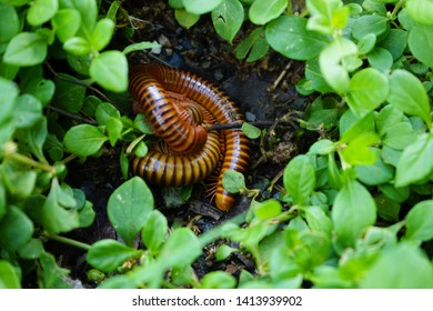 Giant millipedes on the lawn