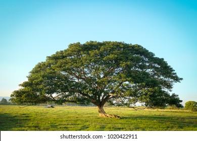 Giant Monkey pod Tree stands firm in Thailand, Rain Tree ; East Indian Walnut ; Monkey Pod