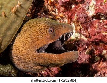 Giant Moray Eel and cleaner shrimps