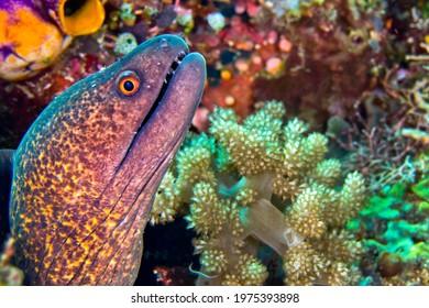 Giant Moray  Moray Eel  Gymnothorax javanicus at Bunaken National Marine Park in Bunaken North Sulawesi  Indonesia  Asia