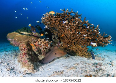 Giant Moray Eel on a tropical coral reef in Thailand (Koh Bon)