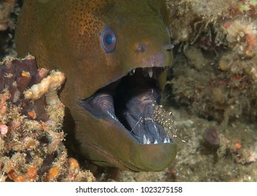 Giant moray eels ( Gymnothorax javanicus ) cleaned by cleaner shrimp  at cleaning station, Bali, Indonesia