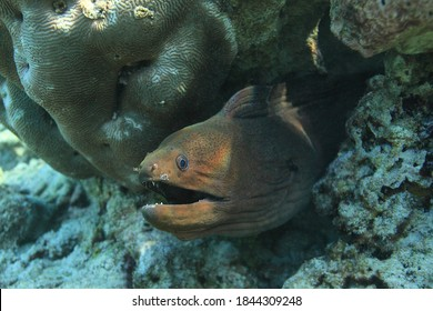 giant moray, Gymnothorax javanicus, looks out from a crevice on a coral reef, Kunfunadhoo Island, Baa Atoll, Maldives