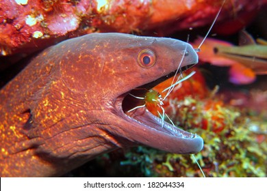 A Giant moray (Gymnothorax javanicus) - portrait. The moray eel taking his cleaning at the cleaning station from the White-banded cleaner shrimp