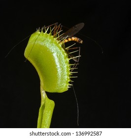 giant mosquito entrap in the leaf of carnivorous plant in everglades marshes