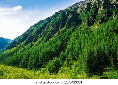 Giant mountain slope with conifer forest in sunny day. Texture of tops of coniferous trees on mountainside in sunlight. Steep rocky cliff. Vivid landscape of majestic nature. View from meadow on hill.