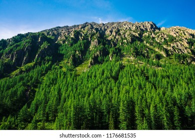 Giant mountain slope with conifer forest in sunny day. Texture of tops of coniferous trees on large mountainside in sunlight. Steep rocky cliff. Vivid landscape of majestic nature. View from valley.