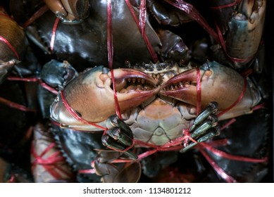 Giant Mud Crabs, Scylla serrata, Black Crab, Mangrove Crab, Captivity Tied Up offered for Sea Food, display for sale at restaurant. Animal to cooked seafood in Thailand food market.