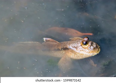 a Giant mudskipper (Periophthalmodon schlosseri) in the pond of Singapore Sungei Buloh Wetland Reserve. It lives in a burrow in the mud and emerges from the burrow at low tide on sunny days.