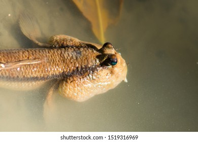 Giant mudskipper; (Periophthalmodon schlosseri), Thailand.