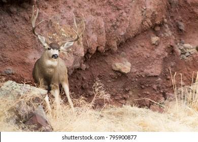 Giant Mule Deer Buck in front of a red rock ridge.