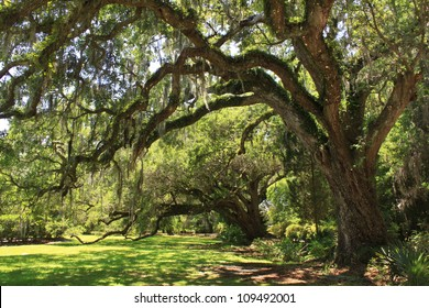 Giant oak tree's located at Magnolia Gardens, South Carolina.