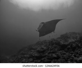 A giant oceanic Manta Ray (Manta birostris) in the Indian Ocean