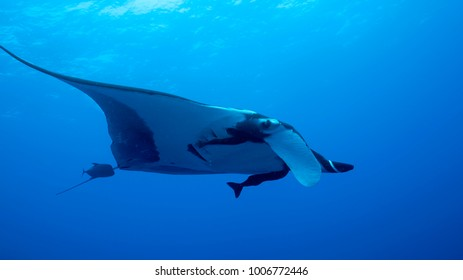 Giant Oceanic Manta Ray, diving in Socorro, Mexico. Revillagigedo Archipelago, often called by its largest island Socorro is a UNESCO world heritage site due to its unique ecosystem.