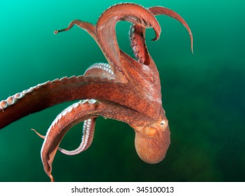 Giant octopus in the motion