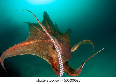 Giant octopus in a motion