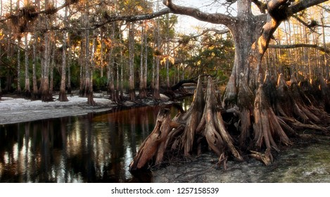 A giant old bald cypress with many knees, known as Memorial Tree, stands alongside a wildlife sanctuar, Fisheating Creek, in the heart of Wild Florida
