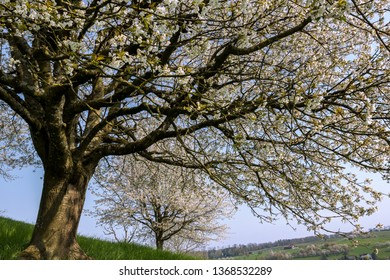 A giant, old blooming cherry tree with white flower blossom, spring season in fruit orchards in agricultural regions