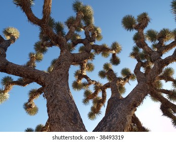 Giant old Joshua Tree in California's Mojave Desert.
