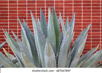 Giant old mature blue agave desert plant succulent cactus against a deep orange brick wall