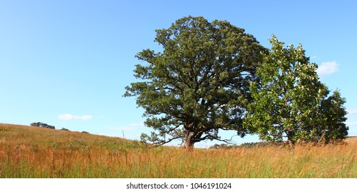 Giant old oak tree in the prairie at Nachusa Grasslands of northern Illinois