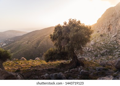A giant olive tree during sunset on Kalymnos, Greece.