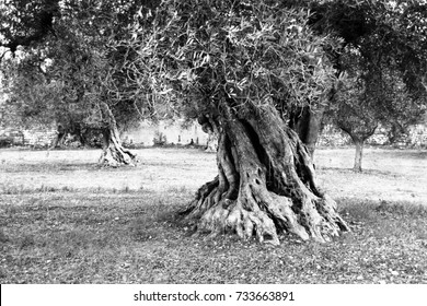 Giant olive tree on olive production farm , Puglia, Italy (Black and White version)