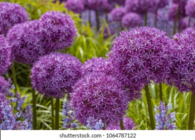 Giant Onion (Allium Giganteum) blooming. Field of Allium / ornamental onion. Few balls of blossoming Allium flowers. Filled full frame. Beautiful picture with Alliums for the gardening theme.