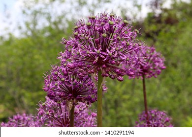 Giant Onion (Allium Giganteum) blooming. Field of Allium / ornamental onion. Few balls of blossoming Allium flowers. Filled full frame. Beautiful picture with Alliums for the gardening theme.  Allium