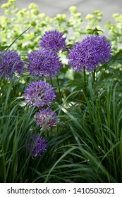 Giant Onion (Allium Giganteum) blooming. Ornamental onion. Few balls of blossoming Allium flowers. Beautiful picture with Alliums for the gardening theme. Blue Allium flowers in garden