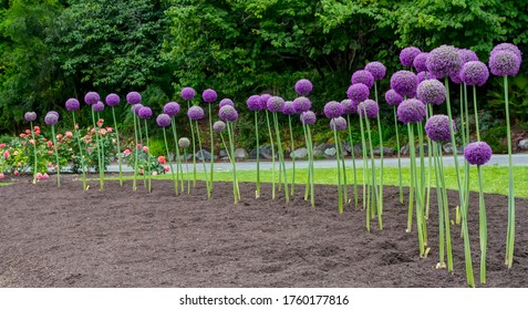 Giant Onion (Allium Giganteum) blooming. Field of Allium / ornamental onion.