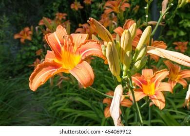 Giant orange Daylily (Hemerocallis fulva) on a beautiful spring in a garden