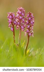 Giant Orchid, Barlia robertiana, lowering European terrestrial wild orchid, nature habitat, detail of bloom. Flower in the nature habitat, Spain.