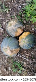 a giant organic pumpkin fruit