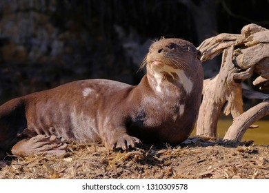 Giant Otter or Giant River Otter, Pteronura Brasiliensis, lying on a tree trunk on Cuiaba River, near Porto Jofre, Pantanal, Mato Grosso do Sul, Brazil, South America