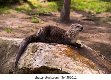 Giant otter standing on a rock with prey in the teeth