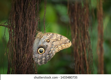 Giant owl butterfly perching on aerial roots of tropical plant with nice smooth green background. Pale owl butterfly close-up.  Tropical butterfly with owl like eyes mimicry on its wings.